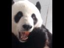 Панда аппетитно хрустит бамбуком