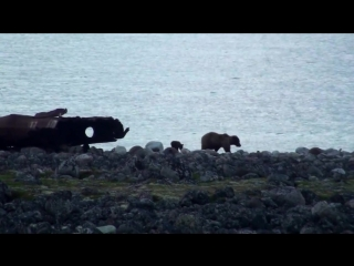 Медведица с медвежонком. (п.Териберка, Мурманская область)