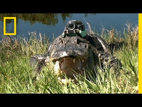 Narcoleptic Alligator Other Gators Film Their Day National Geographic