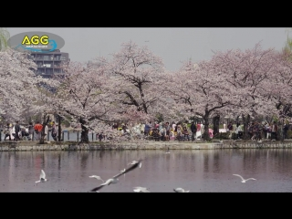 上野公園の桜 Cherry Blossoms at Ueno Park (Shot on RED EPIC) ( 720 X 1280 )