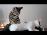 Приколы с котами. Кошки и котята - Смешные и забавные домашние животные под музы
