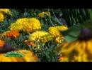 Тагетес, Бог-цветок, борьба с немадодой с помощью бархатцев, какие в этой борьбе бархатцы лучше и как использовать бархатцы в ку