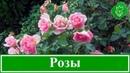 Кустовые розы как вырастить посадка и уход за розами размножение и обрезка роз
