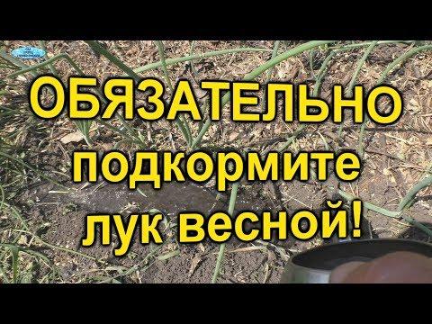 Лук Чем подкормить лук весной для хорошего развития