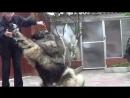 Кавказская овчарка Русский Риск Достояние wwwr-riskru 79262205603 Татьяна Ягодкина -