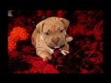 Собака убийца 5 мифов о Бойцовой породе американский питбультерьер пит питбуль