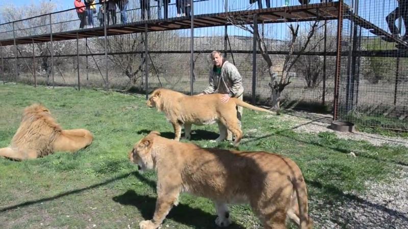 В вольере с прайдом льва Олежки Тестирование львов перед выпуском в Саванну