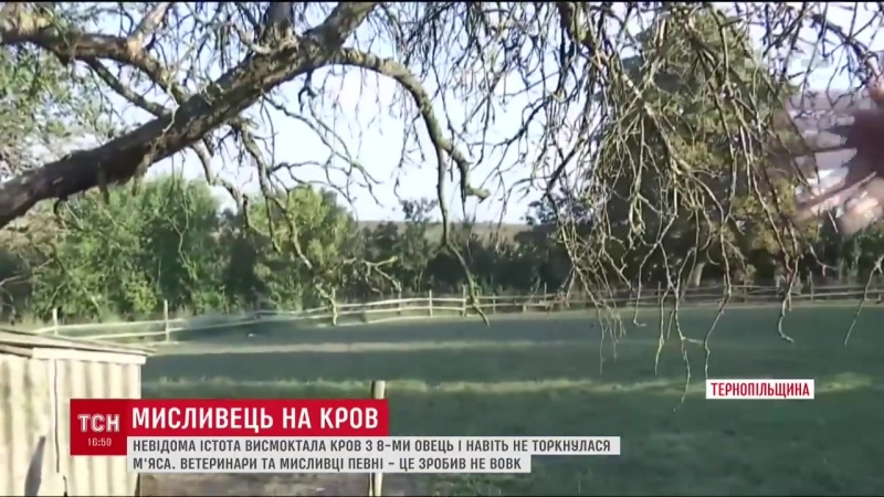 «Вампир»-убийца обескровленные овцы гибнут наЗападной Украине отклыков неизвестного зверя
