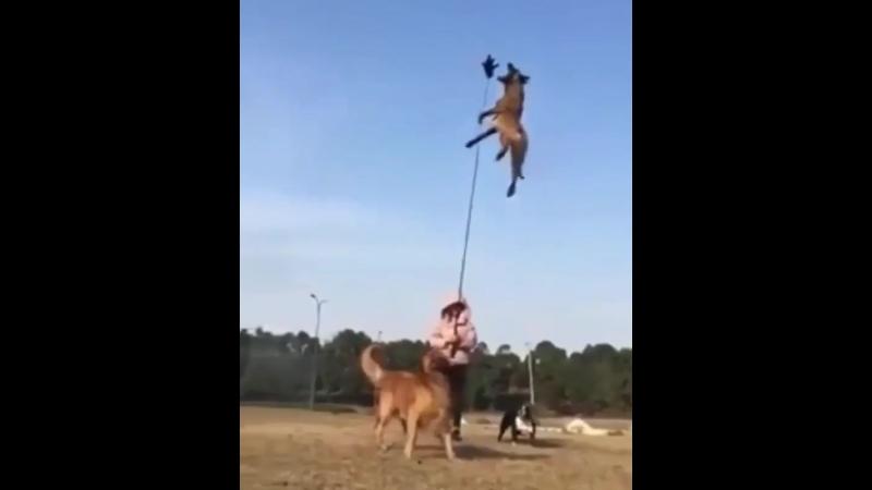 Красивый прыжок бельгийской овчарки малинуа
