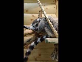 Спящий лемур в Ручном Zooпарке