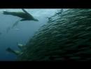 Sardine Feeding Frenzy: Whale, Shark, Dolphin and Sea Lions. The Hunt.
