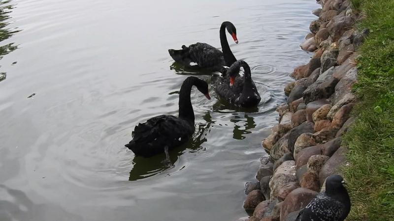 Черные лебеди...