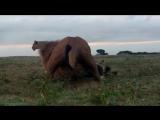 BBC «Переход: Шпион среди антилоп гну (1). В пути» (Познавательный, природа, животные, 2006)