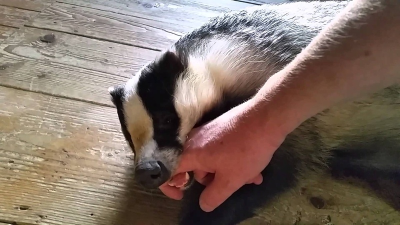 Tor the tame badger playing after his bath