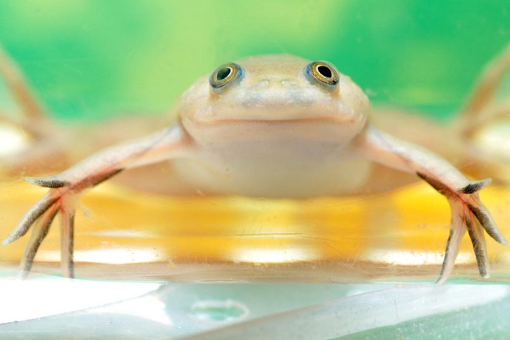 Впервые ученые смогли полностью отрастить конечности взрослой жабке.