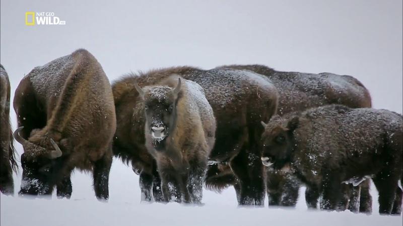 Nat Geo Wild: Волчьи горы / The Wolf Mountains (2013) 1080i