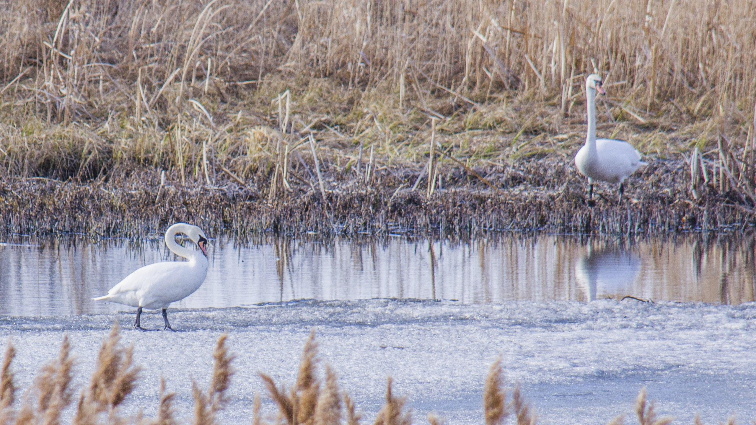 #птицыпочетвергам, или первомай... вариант уральский, лёд и лебеди