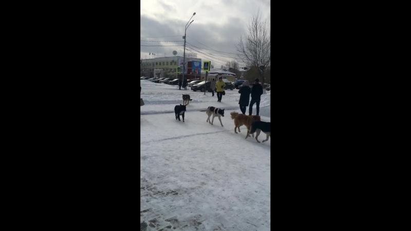 Свора собак на выборах в центре города