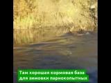 На Дальнем Востоке сотни косуль в день переплывают реку