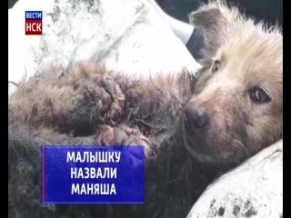 Новосибирцы спасают щенка,которого нашли в застывшем гудроне