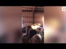 Огнедышащая альпака из Колорадо