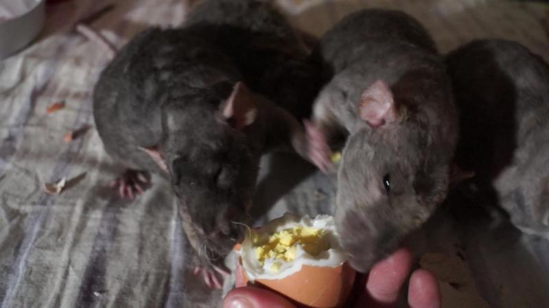 Крысы хавают натуральные яйца