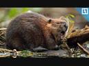 Бобры мстят за разрушенные плотины