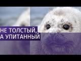 На Камчатке нашли самого толстого тюлененка
