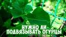 Стоит ли подвязывать огурцы 🥒 Мастер-класс 🥒 Сад огород