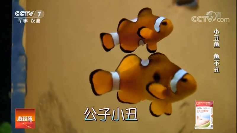 Рыба клоун Немо СяоЧоу Юй клоун рыба либо БиЮй хромая рыба Дружба симбиоз рыбы с ХайКуй морской подсолнух