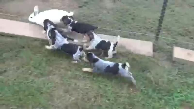 Retta Pups See Their 1st Rabbits @ 8Weeks Old