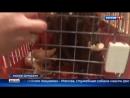 Вести-Москва • Таможенники в Домодедове нашли в багаже 15 полуживых обезьян