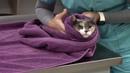 Удержание кошки для пункции подкожной латеральной вены / Cephalic Venipuncture Restraint - Feline