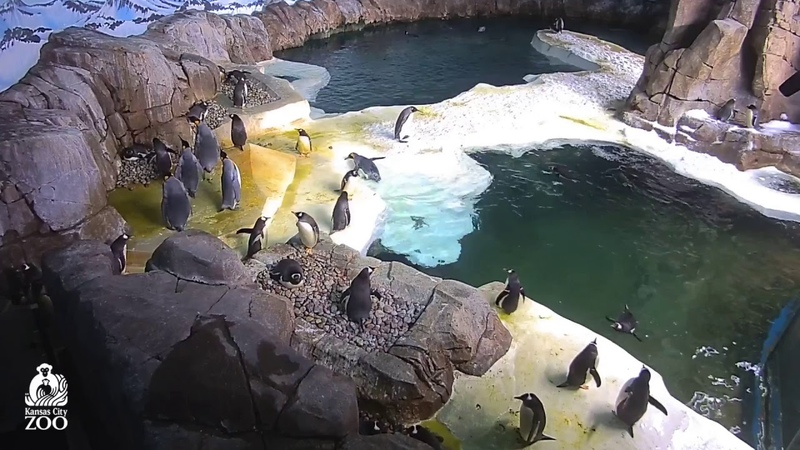 KC Zoo Penguin Cam