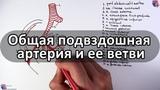 Общая подвздошная артерия и ее ветви - meduniver.com