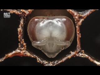 Как появляются на свет пчёлы