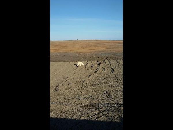Молодой белый медведь хочет поиграть с рабочими восточный Таймыр мыс Сибирский