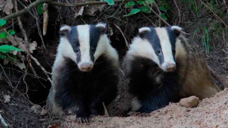 European badger. A pair of animals near their burrows.