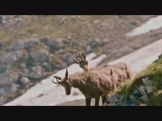 Удивительный случай спасения из лап хищника! Смотришь, как горный козел боролся за жизнь... кому как,а мне жалко стало пернатого