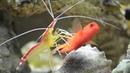 Cleaner Shrimp Cleaning