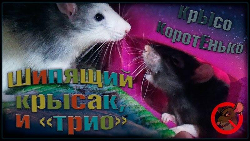 (О) Шипящий крыс, и Трио раздолбаев. (Fancy Rats | Декоративные Крысы)