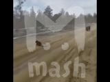 На трассе в Якутии медвежонок показал дальнобойщикам, кто здесь главный