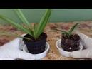 Орхидея Ванда уход и наращивание корней