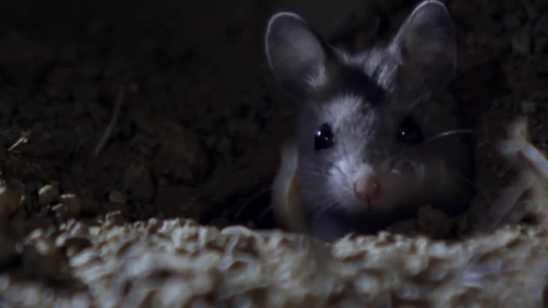 The Grasshoper Mouse (Werewolf mouse) frightening cry