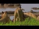 Большой нильский крокодил перебил желание львиц обедать около берега