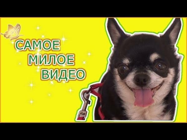 ВЛОГ! Я В ШОКЕ от того как моя собака встречает меня по утрам СМОТРЕТЬ СО ЗВУКОМ Chihuahua