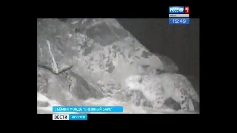 Особую популяцию снежного барса ищут иркутские учёные в Забайкалье