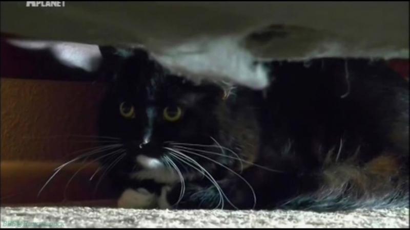 «Адская кошка (06). На тропе войны» (Реальное ТВ, животные, фелинология, 2011)
