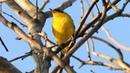 Masked yellowthroat Масковый певун Geothlypis aequinoctialis