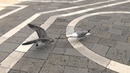 Seagull Thief Чайка украла пиццу